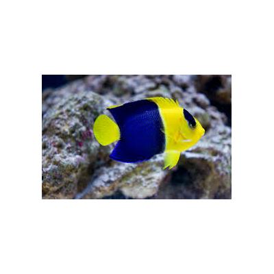 Centropyge bicolor taille (Vanuatu)