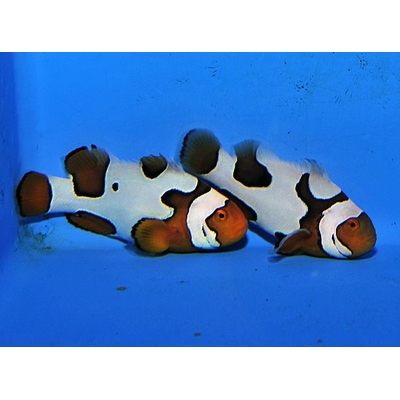 Orange clownfish Picasso (paire)