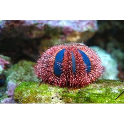 """Mespilia globulus-oursin à courtes épines """"RED"""""""