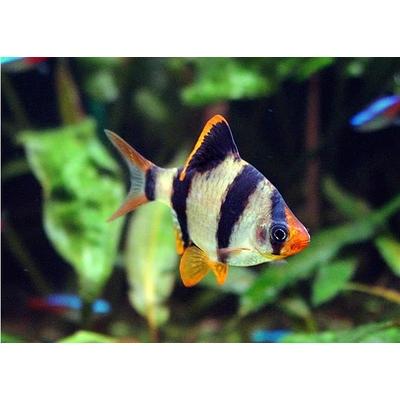 Puntius Tetrzona (Barbus Sumatra)