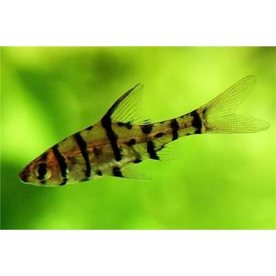 Eirmotus octozona (Barbus)