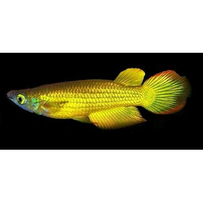 Aplocheilus / lineatus gold