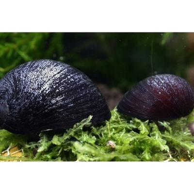 Neritina black helmet