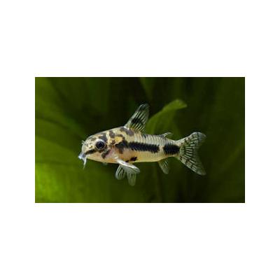 Corydoras HABROSUS ( Poivre et Sel )