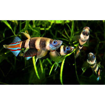 Epiplatys annulatus (Killi clown)