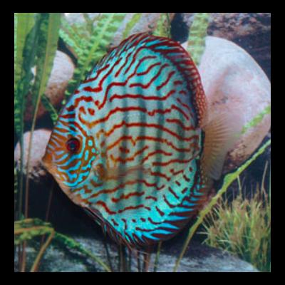 Discus Brillant Turquoise 7 cm
