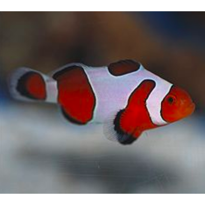 amphiprion ocellaris fancy white (le couple)