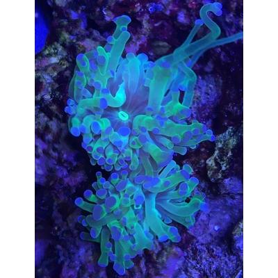Euphyllia paradivisa green tips WYSIWYG