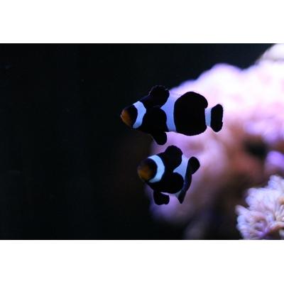 Amphiprion ocellaris darwini