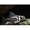 hypancistrus_zebra_11