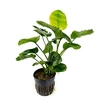anubias-barteri-round-golden-coin-11709278748753_400x400_crop_center
