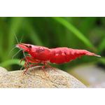 Neocaridina-heteropoda-var.-red-Fire-red