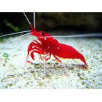 fire-shrimp