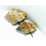 hermit-crab-assorted-_product_zoom_thumb