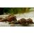 Melanoides-tuberculata-640x376