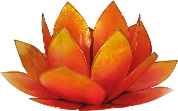 Lotus Lever du Soleil - Rose et Jaune