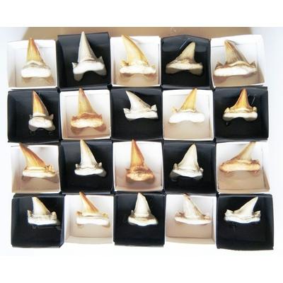 Dent de Requin Fossile du Maroc (petite) La pièce