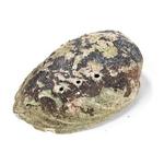 Coquille dOrmeau pour Fumigation Abalone (3)