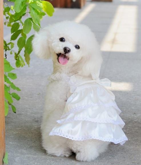 robe pour chien robe de mari e blanche pour chien