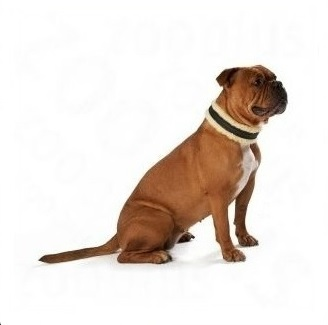 COLLIER SPECIAL CHIEN BOXER