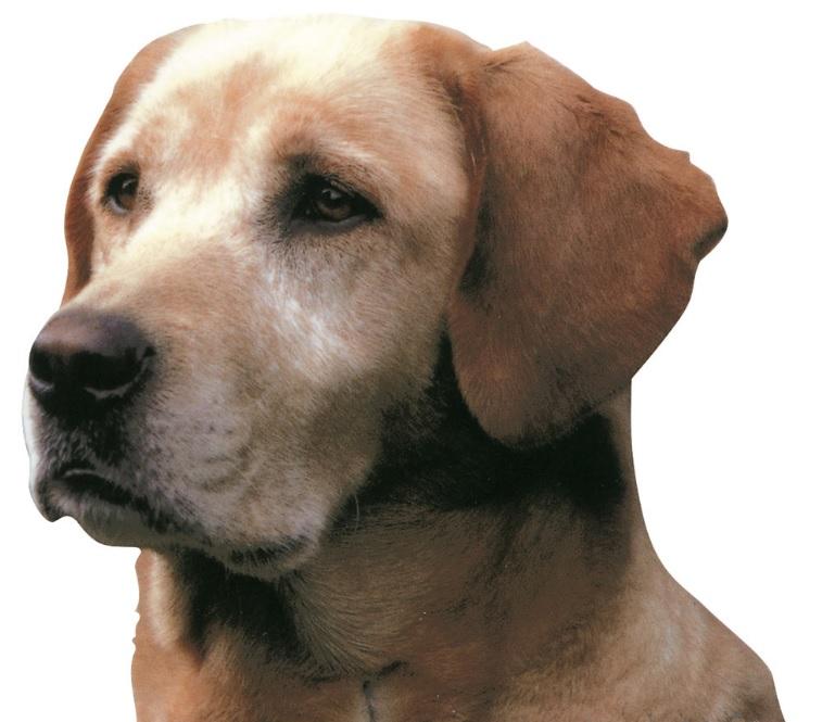 autocollant race de chien autocollant chien labrador article. Black Bedroom Furniture Sets. Home Design Ideas