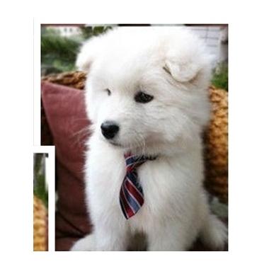 cravate-bleue-rayee-pour-chein