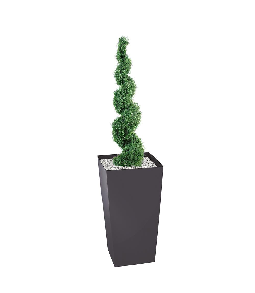Plante Cyprès en spirale