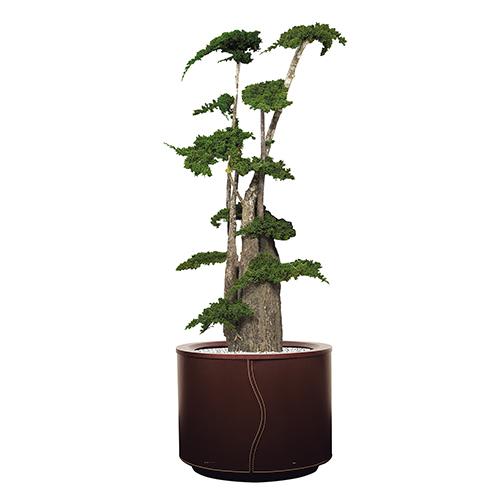 Juniperus stabilisé de 125 cm