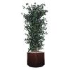 (Cuir-Rond)-(Juniperus)