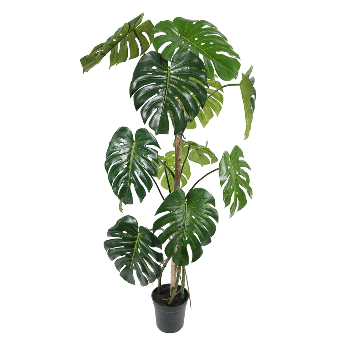 Gotessons_Monstera