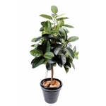 Grand ficus semi-naturel