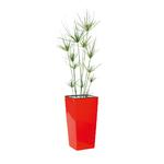 Plante Papyrus en pot