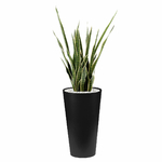 Sansevieria semi-naturel