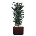 (Cuir-Carré)-(Juniperus)