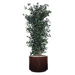 """Plante stabilisée """"populus"""" 125 cm"""
