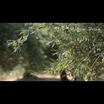 Olives Koroneiki Crete