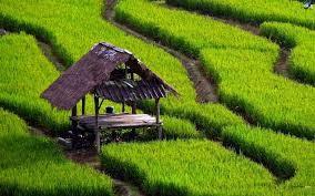 cabane avec champs de thé