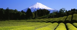 les-champs-de-the-du-japon-et-mt.-fuji
