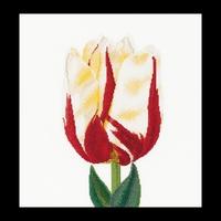 Thea Gouverneur  516A  Flamed  Single Late  Tulip  Aïda