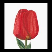 Thea Gouverneur  521  Red  Darwin  Hybrid  Tulip  Lin