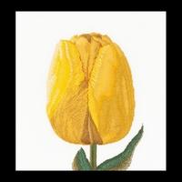 Thea Gouverneur  522A  Yellow  Darwin  Hybrid  Tulip  Aïda