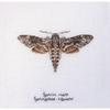 Papillon Sphinx tête de mort 564 Thea Gouverneur