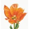 Thea Gouverneur  523A  Tulipe