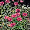 Thea Gouverneur  2061.05  Coquelicots roses  Aïda noire