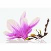 Fleurs de Magnolia  0008304  Lanarte