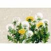 Fleurs de pissenlits 807   Riolis