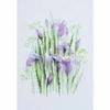 Iris 1181  Riolis