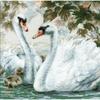 Cygnes Blanc  1726  Riolis
