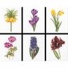 Six études floral III  3083  Thea Gouverneur