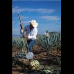 agave mexicain